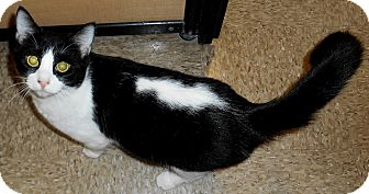 Domestic Shorthair Cat for adoption in Chattanooga, Tennessee - Donner