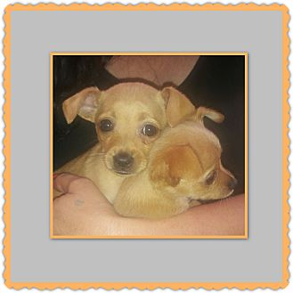 Chihuahua Mix Puppy for adoption in Richmond, California - Laverne