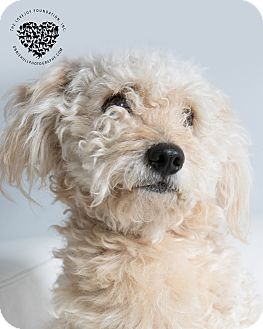 Terrier (Unknown Type, Small)/Poodle (Miniature) Mix Dog for adoption in Inglewood, California - Benji