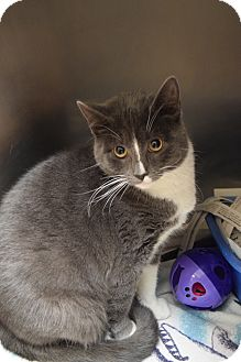Domestic Shorthair Cat for adoption in Bay Shore, New York - Frost