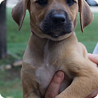 Boxer/Corgi Mix Puppy for adoption in West Nyack, New York - Angel