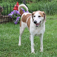 Coonhound Mix Dog for adoption in Huntley, Illinois - Josie