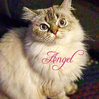 Adopt A Pet :: Angel (Lynx Point Siamese) - York, PA