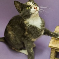Adopt A Pet :: LOVEY-LOVES ATTENTION - Plano, TX
