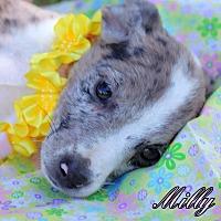 Adopt A Pet :: Milly - Batesville, AR