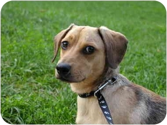 Dachshund Mix Puppy for adoption in Long Beach, New York - Lucky