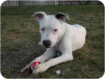 American Bulldog/Dalmatian Mix Dog for adoption in West Richland, Washington - Hedger-Adopted!