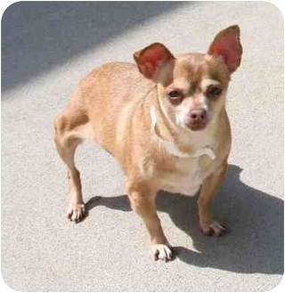 Chihuahua Dog for adoption in Phoenix, Oregon - Rolly