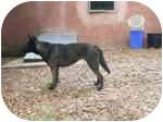 Australian Kelpie/Australian Cattle Dog Mix Dog for adoption in Arenas Valley, New Mexico - Miko