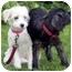 Photo 1 - Terrier (Unknown Type, Medium)/Maltese Mix Puppy for adoption in Marina del Rey, California - Precious