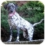 Photo 4 - Dalmatian Puppy for adoption in Mandeville Canyon, California - Smudge