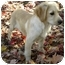 Photo 2 - Golden Retriever/Labrador Retriever Mix Puppy for adoption in Knoxville, Tennessee - Julep