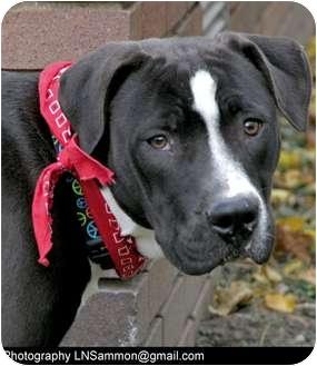 Labrador Retriever/American Bulldog Mix Dog for adoption in Painesville, Ohio - OREO