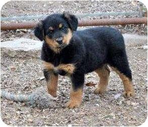 Rottweiler/German Shepherd Dog Mix Puppy for adoption in Litchfield, Connecticut - Abel