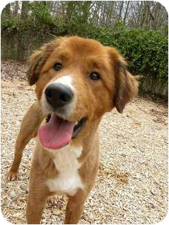 Golden Retriever Mix Dog for adoption in Hagerstown, Maryland - CJ Brown