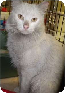 Turkish Angora Cat for adoption in Forest Hills, New York - Tommy
