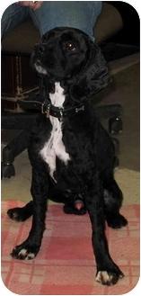 Cocker Spaniel Dog for adoption in Peconic, New York - Lovey Smith