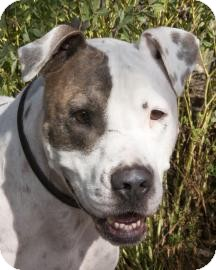 American Staffordshire Terrier Mix Dog for adoption in Vernon Hills, Illinois - Johnny Walker