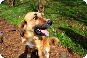 Anatolian Shepherd Mix Dog for adoption in Hamburg, Pennsylvania - Apple