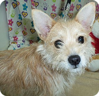 Terrier (Unknown Type, Small) Mix Dog for adoption in Waldorf, Maryland - Kingston #270