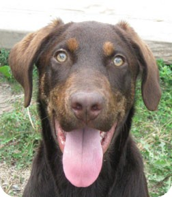 German Shorthaired Pointer/Hound (Unknown Type) Mix Dog for adoption in Bonners Ferry, Idaho - Rufus