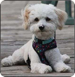 Poodle (Miniature) Mix Dog for adoption in San Diego, California - Dusty