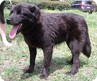 Spaniel (Unknown Type)/Flat-Coated Retriever Mix Dog for adoption in Starkville, Mississippi - Reed