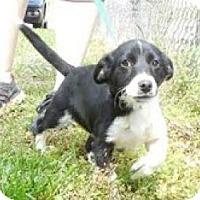 Adopt A Pet :: Little Rascal - Staunton, VA