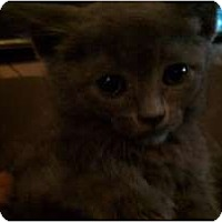 Adopt A Pet :: Amelia - New Egypt, NJ