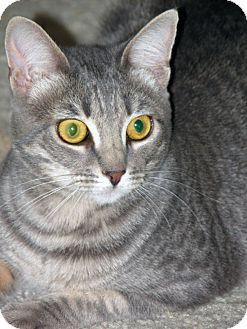 Domestic Shorthair Cat for adoption in Laguna Woods, California - Heather
