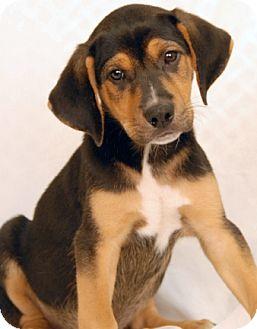 Rottweiler/Hound (Unknown Type) Mix Puppy for adoption in Newland, North Carolina - Buckles
