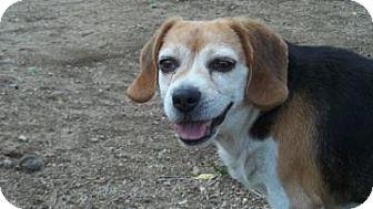 Beagle Mix Dog for adoption in Buena Vista, Colorado - Fred