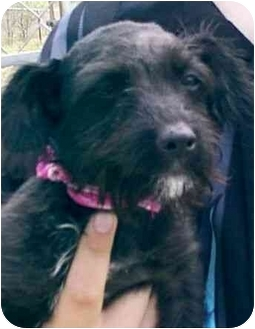 Schnauzer (Miniature)/Terrier (Unknown Type, Small) Mix Puppy for adoption in Electra, Texas - GABBY