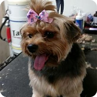 Yorkie, Yorkshire Terrier Mix Dog for adoption in Jacksonville, Florida - Carlee