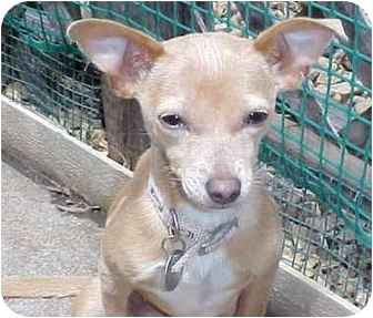 Chihuahua Mix Puppy for adoption in Spring Valley, California - Hercules