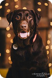 Labrador Retriever Dog for adoption in Portland, Oregon - Montery