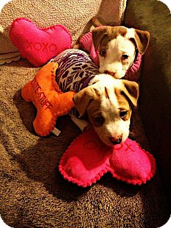 Pit Bull Terrier Mix Puppy for adoption in Medford, New Jersey - Glimmer