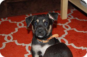 German Shepherd Dog/Labrador Retriever Mix Puppy for adoption in Fishkill, New York - BENNIE