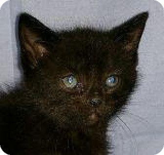 Domestic Shorthair Kitten for adoption in Walworth, New York - Midnight