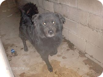 Chow Chow Mix Dog for adoption in KELLYVILLE, Oklahoma - BEAR
