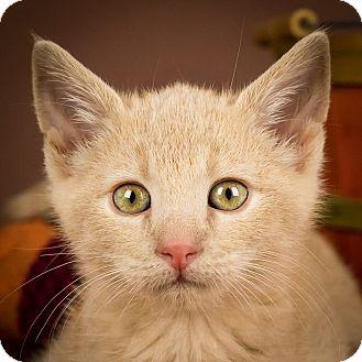 Domestic Shorthair Kitten for adoption in Columbia, Illinois - Leo