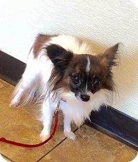 Papillon Dog for adoption in Oak Ridge, New Jersey - Papi