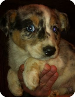 Australian Shepherd/Australian Cattle Dog Mix Puppy for adoption in Kittery, Maine - Sasha