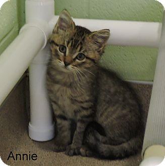 Domestic Shorthair Kitten for adoption in Slidell, Louisiana - Annie