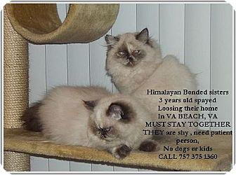 Himalayan Cat for adoption in Virginia Beach, Virginia - Destiny and Diamond