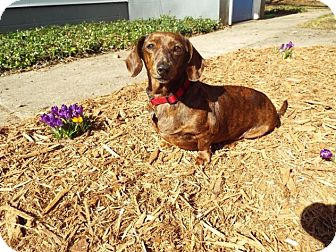 Dachshund Mix Dog for adoption in Grand Rapids, Michigan - Molly