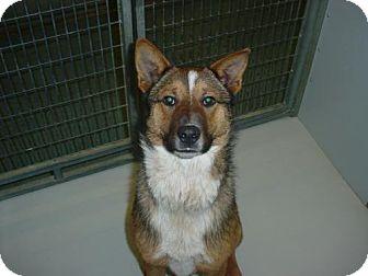 Australian Shepherd Mix Dog for adoption in Olympia, Washington - 42992