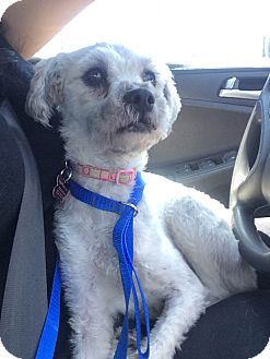 Poodle (Miniature) Mix Dog for adoption in Encino, California - Chanel