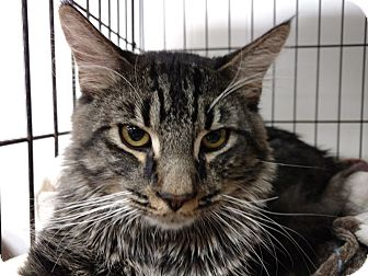 Maine Coon Cat for adoption in Acushnet, Massachusetts - Crowley