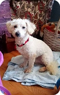 Poodle (Standard) Dog for adoption in Mentor, Ohio - EVAN SHY 8 YR OLD